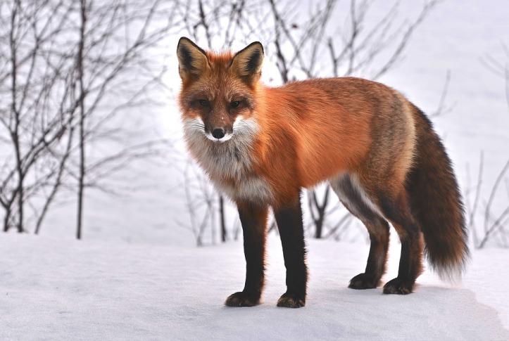 fox-715588_960_720.jpg