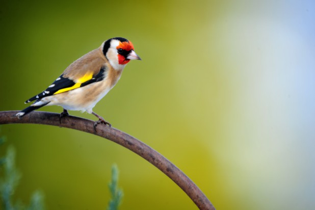 goldfinch_-_peak_district_birds_4