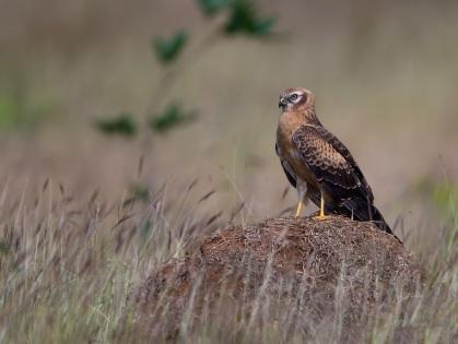 Montagu's_Harrier,_juvenile,_Bangalore,_India