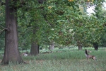 Deer at Holkham inNorfolk
