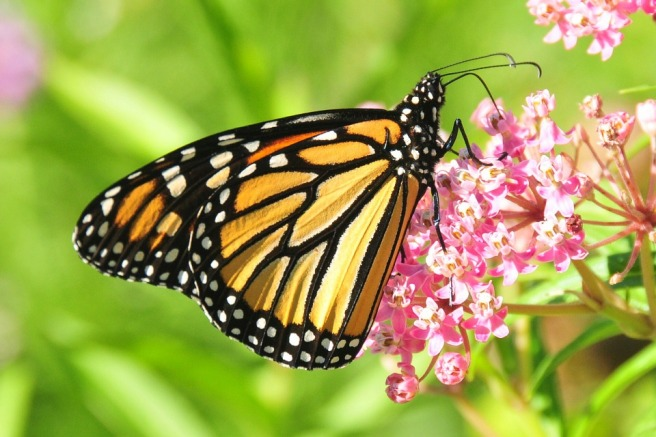 monarch-butterfly-957784_960_720.jpg