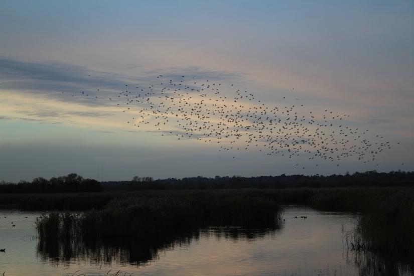Starlings at Strumpshaw Fen (November2017)