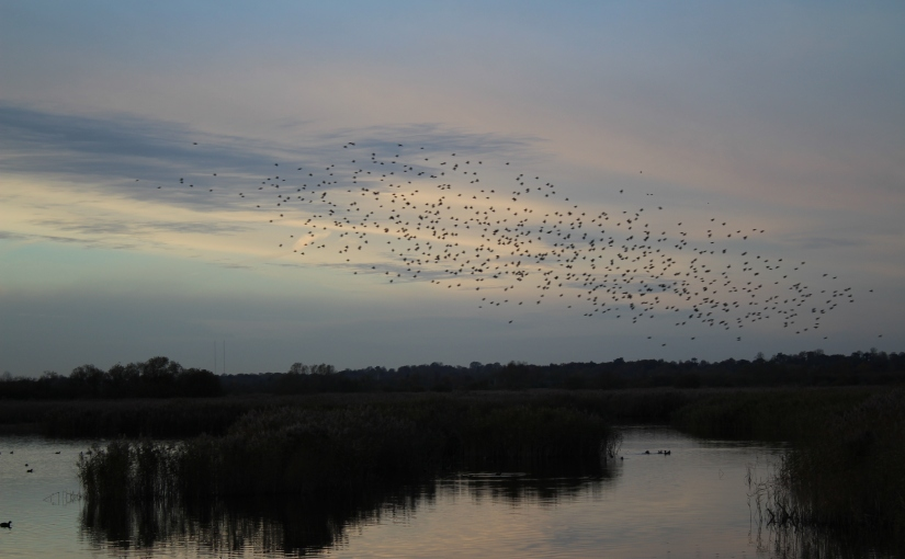 Starlings at Strumpshaw Fen (November 2017)