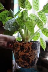 Calathea in beautiful pot