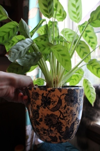 Calathea in beautiful pot