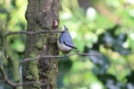 A nuthatch in thewoods.