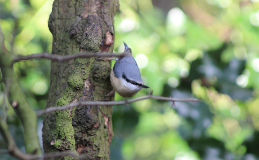 A nuthatch in the woods.